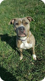 American Pit Bull Terrier Mix Dog for adoption in South Park, Pennsylvania - Ariel
