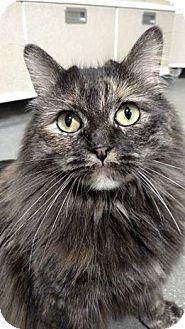 Domestic Longhair Cat for adoption in Overland PArk, Kansas - Gigi