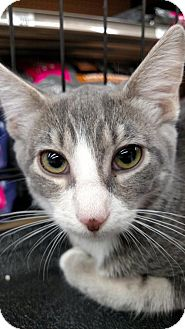 Domestic Shorthair Cat for adoption in San Marcos, Texas - Luna