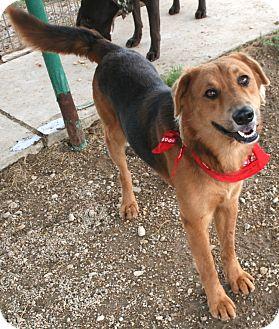 Shepherd (Unknown Type) Mix Dog for adoption in Pilot Point, Texas - COWBOY