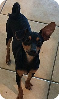 Miniature Pinscher Mix Puppy for adoption in Oakland, Florida - Mighty