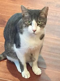 Domestic Shorthair Cat for adoption in Marco Island, Florida - Lucky