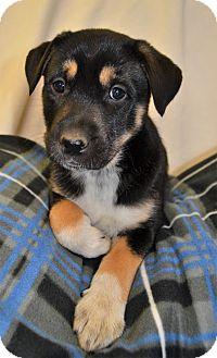 Siberian Husky/German Shepherd Dog Mix Puppy for adoption in Michigan City, Indiana - Murphy