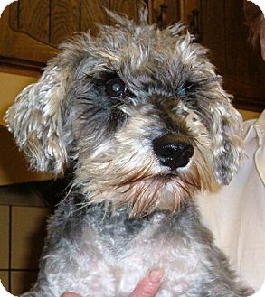 Standard Schnauzer Mix Dog for adoption in Antioch, California - Spice