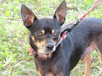 Chihuahua Dog for adoption in Allentown, Pennsylvania - CHICO