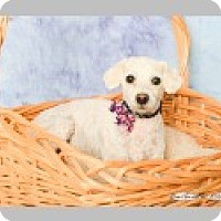 Adopt A Pet :: Shirley Temple - Pittsboro, NC