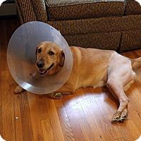 Adopt A Pet :: Stella - New Canaan, CT