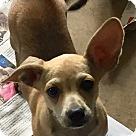 Adopt A Pet :: LITTLE LEON