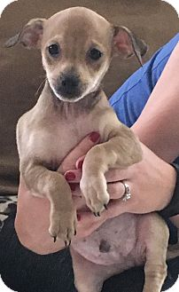 Dachshund/Terrier (Unknown Type, Small) Mix Puppy for adoption in Garland, Texas - Jim Bob
