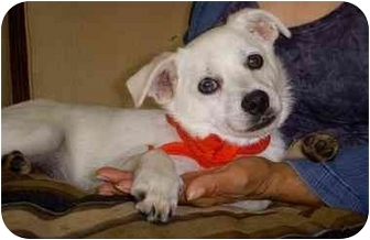 Terrier (Unknown Type, Small) Mix Puppy for adoption in Coral Springs, Florida - Snowball