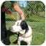 Photo 3 - Catahoula Leopard Dog Dog for adoption in Mims, Florida - Gus