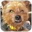 Photo 2 - Yorkie, Yorkshire Terrier Dog for adoption in Hammonton, New Jersey - Gizmo
