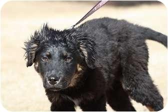 Australian Shepherd/Shepherd (Unknown Type) Mix Puppy for adoption in Broomfield, Colorado - Alfredo