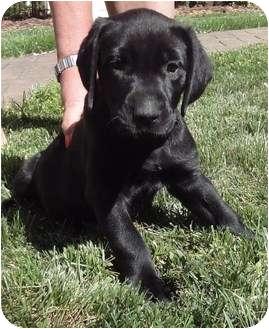 Cane Corso/Labrador Retriever Mix Puppy for adoption in Marietta, Georgia - Muffy