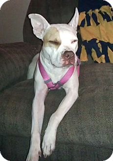 American Pit Bull Terrier Mix Dog for adoption in Howell, Michigan - Babe