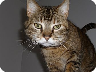 Domestic Shorthair Cat for adoption in Port Clinton, Ohio - Snickers