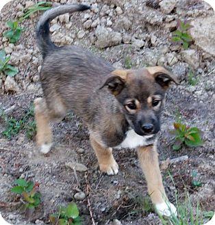 Shepherd (Unknown Type)/Husky Mix Puppy for adoption in Colville, Washington - Twyla