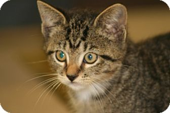 American Shorthair Kitten for adoption in Foster, Rhode Island - Noha
