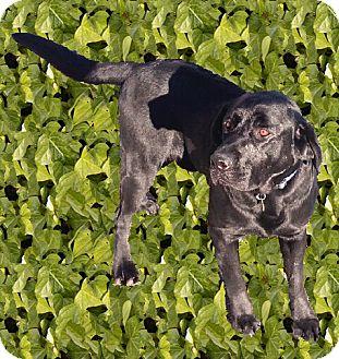 Labrador Retriever Dog for adoption in Sacramento, California - Maxie English Lab