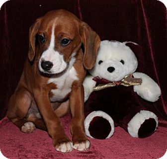 Boxer/Basset Hound Mix Puppy for adoption in Salem, New Hampshire - Elvis Presley