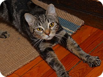 American Shorthair Kitten for adoption in Brooklyn, New York - Mimi