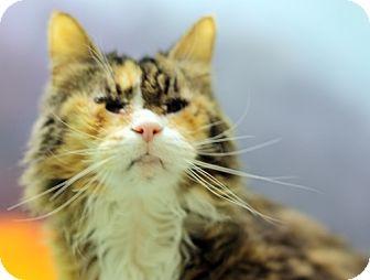 Calico Cat for adoption in Lyons, New York - Precious