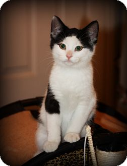Domestic Shorthair Kitten for adoption in Woodstock, Ontario - Moo