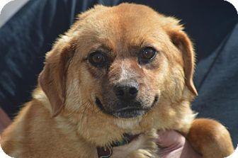 Terrier (Unknown Type, Medium)/Beagle Mix Dog for adoption in Staunton, Virginia - Emogene