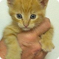 Adopt A Pet :: caruso - Santa Monica, CA