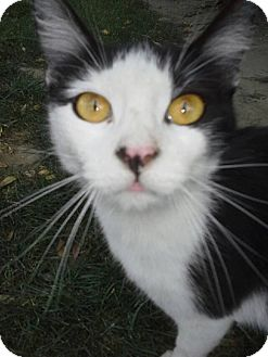 Domestic Shorthair Cat for adoption in Burbank, California - Sammy (Samantha)