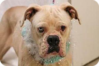 Boxer Dog for adoption in Sunderland, Massachusetts - Tippsy