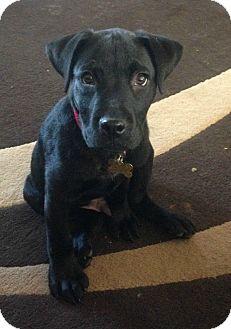 Labrador Retriever Mix Puppy for adoption in Richmond, Virginia - Simmo