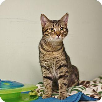 Domestic Shorthair Cat for adoption in Murphysboro, Illinois - Meowyn