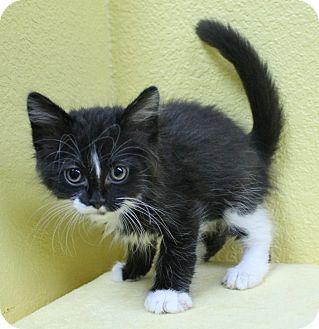 Domestic Longhair Kitten for adoption in Benbrook, Texas - Simon