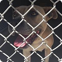 Adopt A Pet :: Beach Girl - Bloomfield, CT
