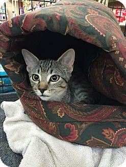 Domestic Shorthair Cat for adoption in Rochester, Minnesota - Catalpa