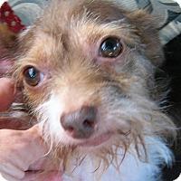 Adopt A Pet :: Lucy - Sun Valley, CA