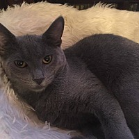 Domestic Shorthair Cat for adoption in Toms River, New Jersey - London