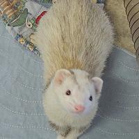 Adopt A Pet :: Chaika - Carlton, OR