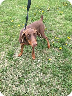 Doberman Pinscher Puppy for adoption in Nesquehoning, Pennsylvania - Odie