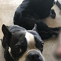 Adopt A Pet :: George (Weezie bonded pair) - Irving, TX