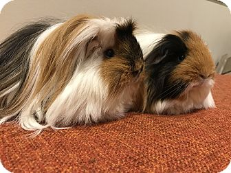 Guinea Pig for adoption in Spring, Texas - Stella & Lucy