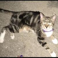 Domestic Shorthair/Domestic Shorthair Mix Cat for adoption in Elk Grove Village, Illinois - Starlight