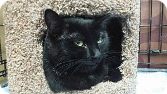 Domestic Shorthair Cat for adoption in Napa, California - Vacaville - Breezy