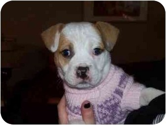 Pit Bull Terrier Mix Puppy for adoption in Lombard, Illinois - Peanut