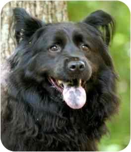 Chow Chow Mix Dog for adoption in Wake Forest, North Carolina - Bear
