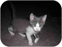Domestic Shorthair Kitten for adoption in Tampa, Florida - Travis