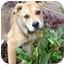 Photo 1 - German Shepherd Dog Mix Puppy for adoption in Norwich, Connecticut - Schnitzel