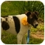 Photo 1 - English Springer Spaniel Mix Dog for adoption in Bedminster, New Jersey - Dottie