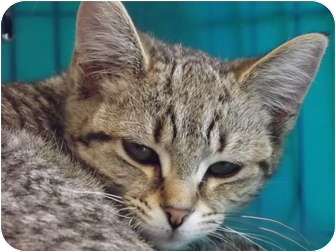 Domestic Shorthair Cat for adoption in Defiance, Ohio - Tink